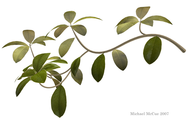 This is an illustration of a branch from a Southern Magnolia tree.